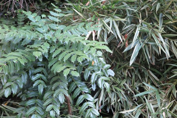 Mahonia is a popular shrub with a jungly look