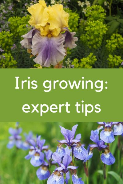 Expert tips on growing irises