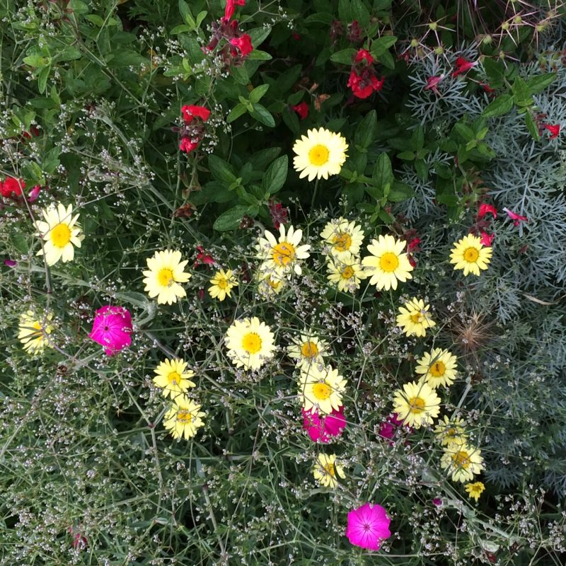 Choose trouble-free plants for larger gardens, such as argyranthemum