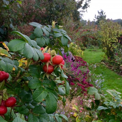 Rose hips in October