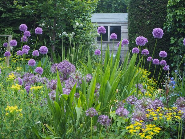 Alliums are good self-seeders