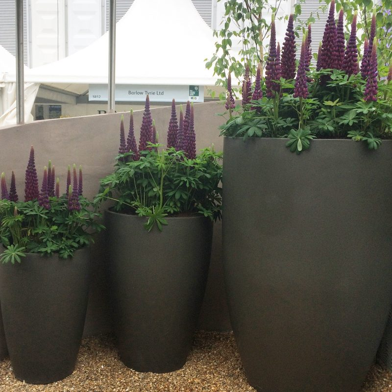 Lupins in three sizes of pot