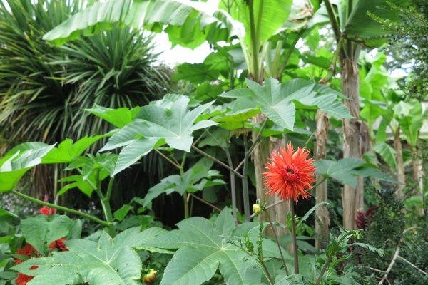 Add colour to an exotic garden with dahlias
