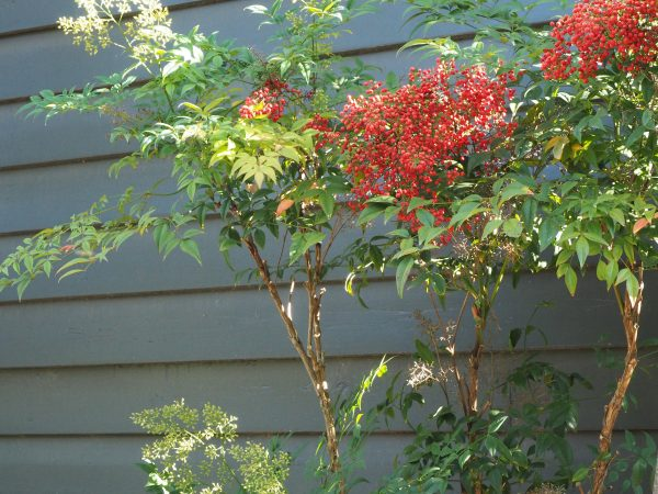 Nandina domestica 'Richmond' is an unusual variety of Nandina.