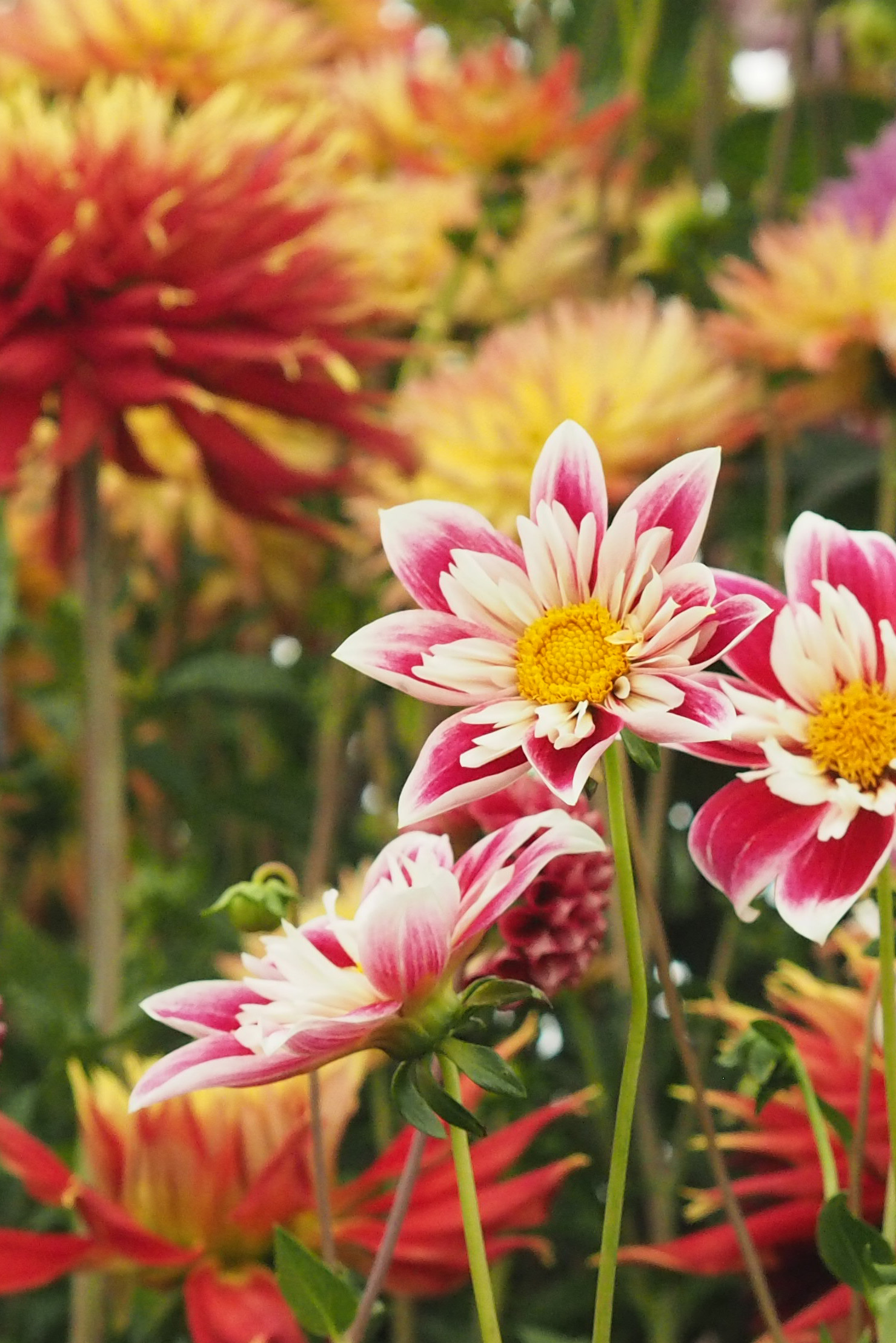 Add zing to your garden with a vibrant flower, such as Dahlia Fashion Monger.