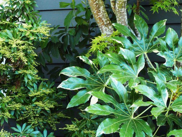 Fatsia variegata and Pieris 'Forest Fire'