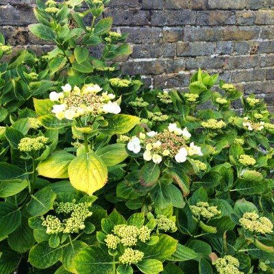 Hydrangea rescued from over-crowding