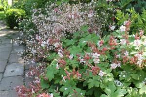 Saxifrage and geranium