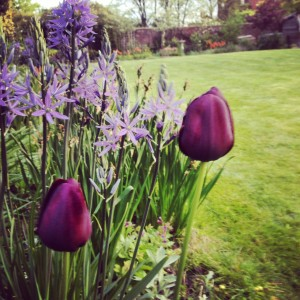 Tulip Queen of Night and Camassia