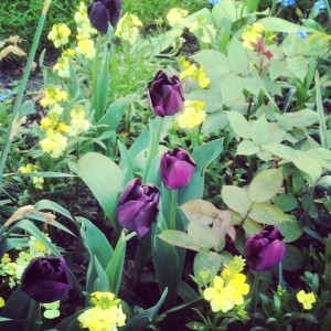 Tulip Queen of Night with creamy-yellow wallflowers