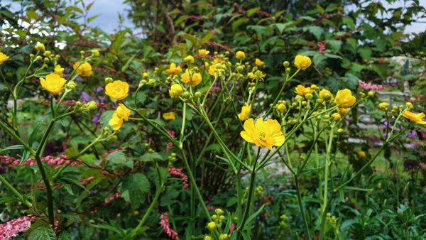 Ranunculus acris stevenii - taller than the wild buttercup