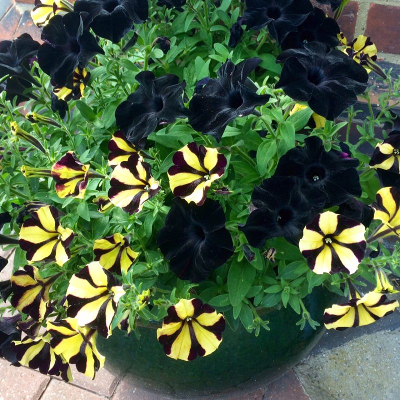 Combine plain and pattern in flowers for tubs.