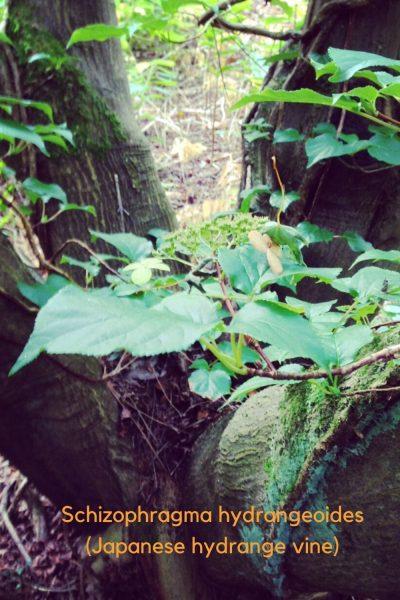 Shade loving hydrangea vine