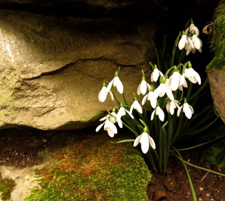 Choose a sheltered spot for your snowdrop photography