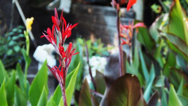 An unusual species canna