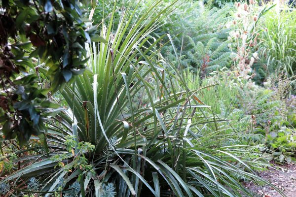 Puya chilensis can be hardy in some cool climate zones