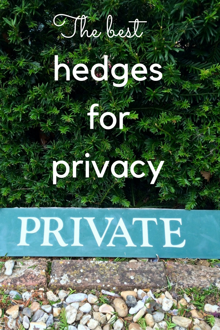 Hedge Bushes: What You Really Need To Know About Evergreen Hedges For