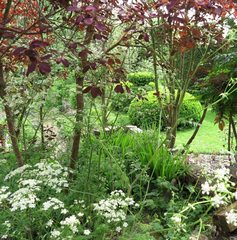 Cotinus and cow parsley