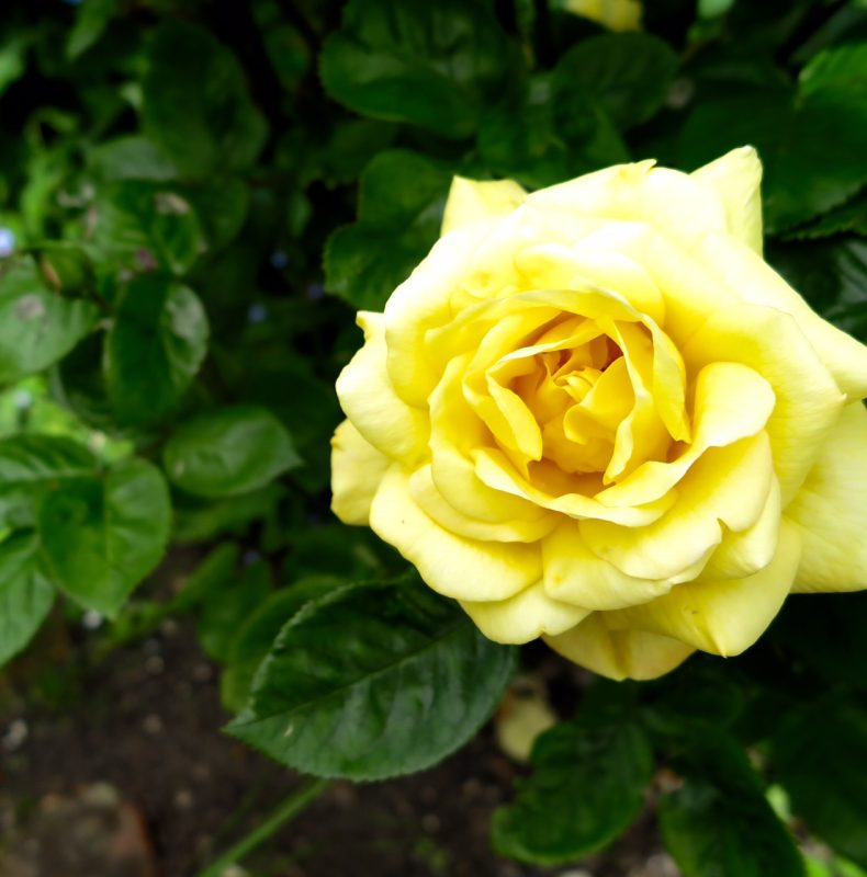 Mid twentieth century roses