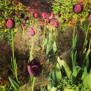 Tulip Queen of Night and bronze fennel