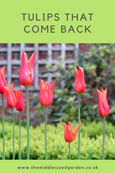 Tulips that come back