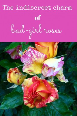 Harry Wheatcroft roses bad-girl retro