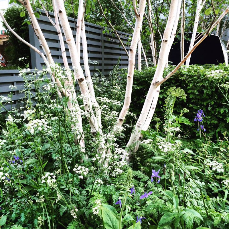 My favourite privacy tree - multi-stemmed silver birches for privacy