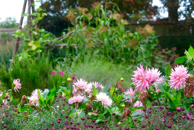 How to use dahlias to give a long season of colour