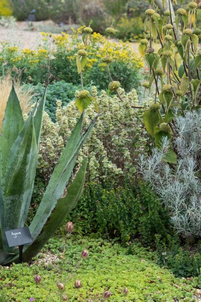 Agave at Beth Chatto gardens