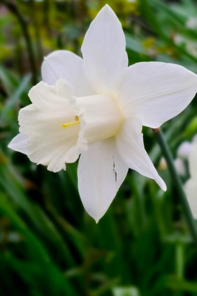 All white daffodil