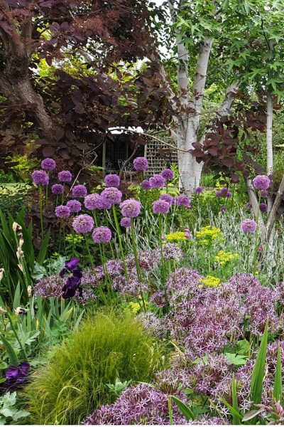 Self-seeded alliums and euphorbia
