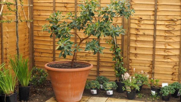 Red Barked Strawberry Tree or Arbutus x arachnoides is a good evergreen tree for a small garden