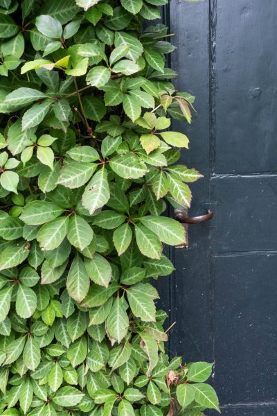 Chinese virgnia creeper is less vigorous than Virginia creeper