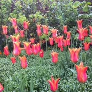 ballerina tulips in veg bed