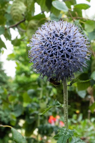 Echinops are wildlife friendly and spread well