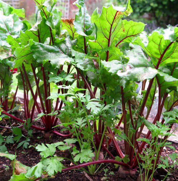 Self-seeding parsley