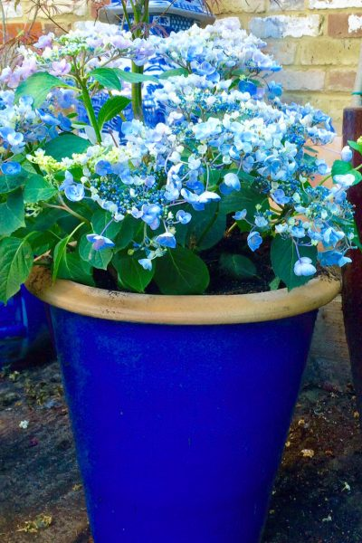 Hydrangeas make excellent low-maintenance garden pots
