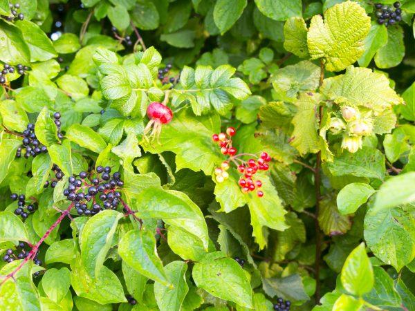 Foragers hedge of dog rose, hazel, elder and wild currant
