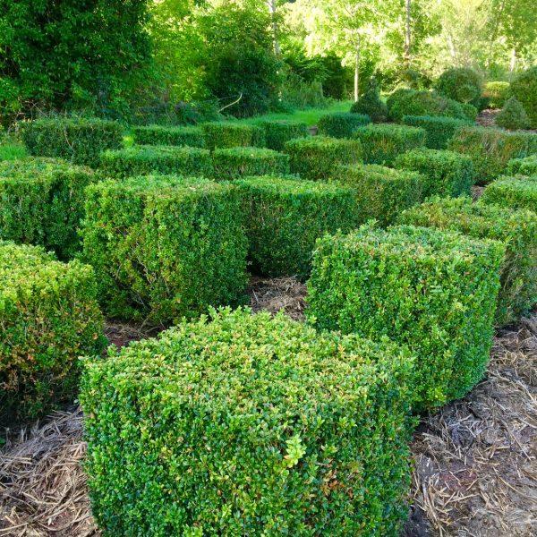 Box cone topiary in the field