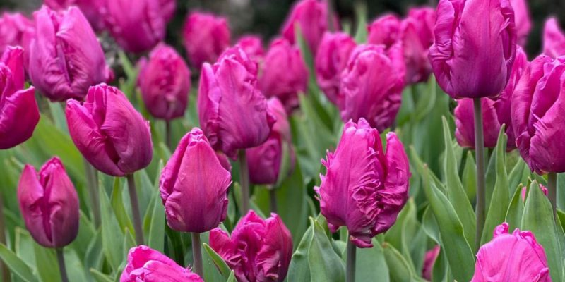 How to plant and grow tulips for a stunning display