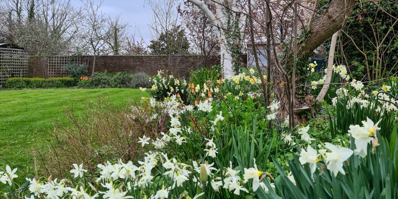 Daffodils – the star of the show or the Cinderella of the garden?