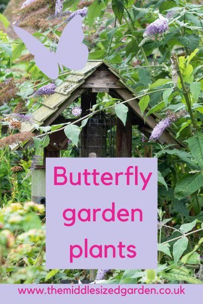 Buddleia for butterflies
