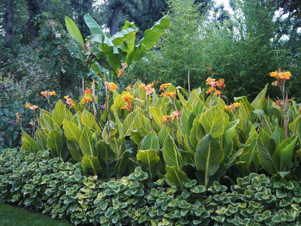 How to over-winter cannas in a temperate climate