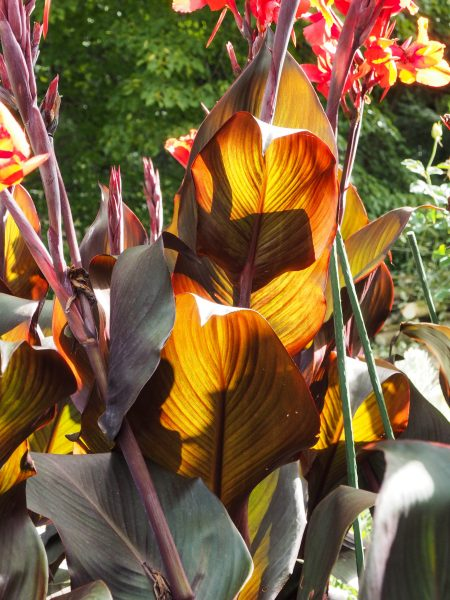 Choose cannas for their foliage