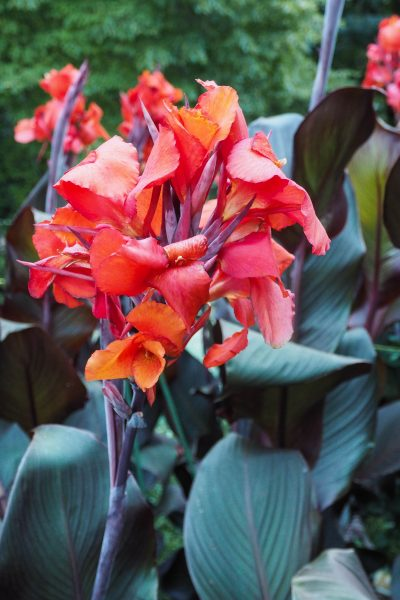 Choose cannas for their flowers and foliage