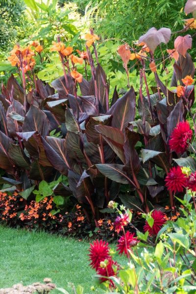 Cannas and dahlias