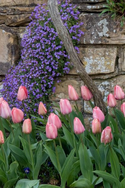 Combine pink tulips with blue