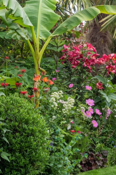 Banana palm in herbaceous border