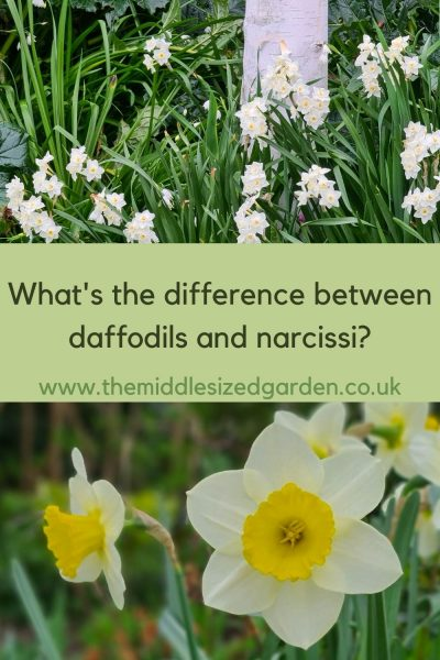 What is a narcissus