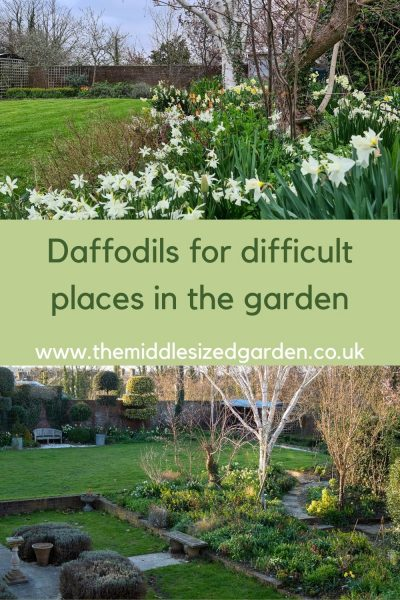 Daffodils for difficult places